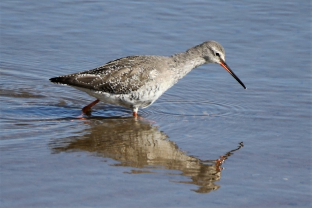Spotted Redshank Normandy 22nd A.Tew