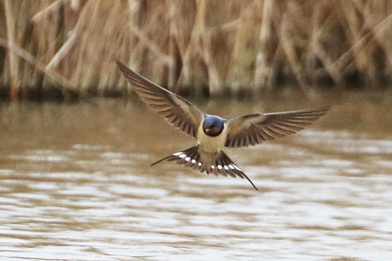 Swallow - Farlington Marshes 10th April C Rose