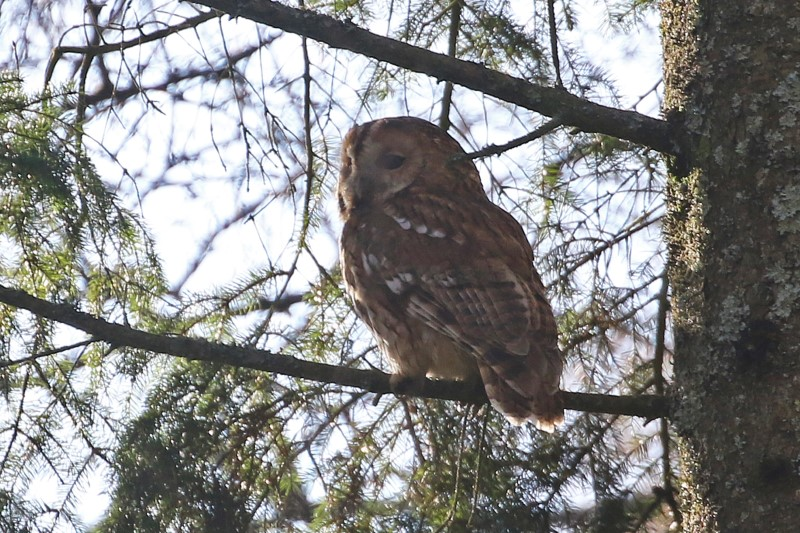 Tawny Owl - Four Marks 9th March C Rose