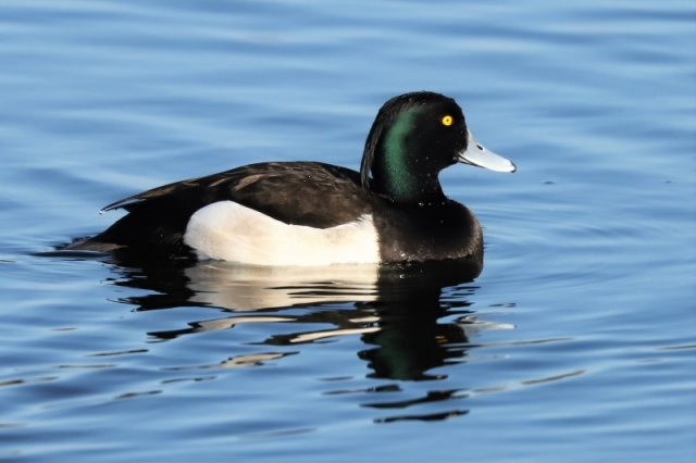 Tufted Duck by Brian Cartwright 4th Apr Anton Lake