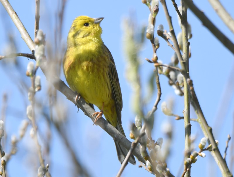 Yellowhammer by Dave Levy - Apr 4th, Edenbrook CP