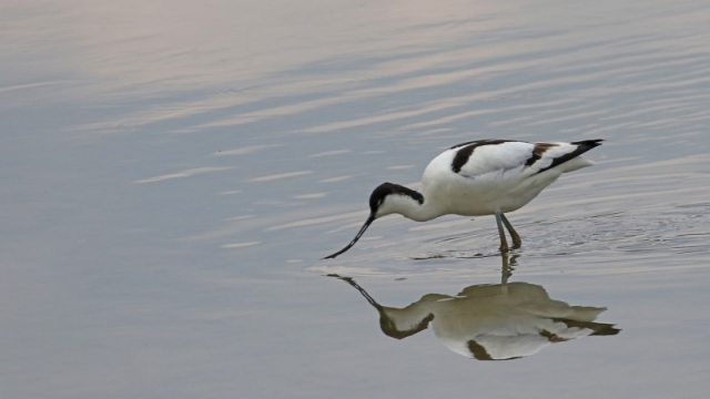 Avocet - Titchfield Haven 1st May C Rose