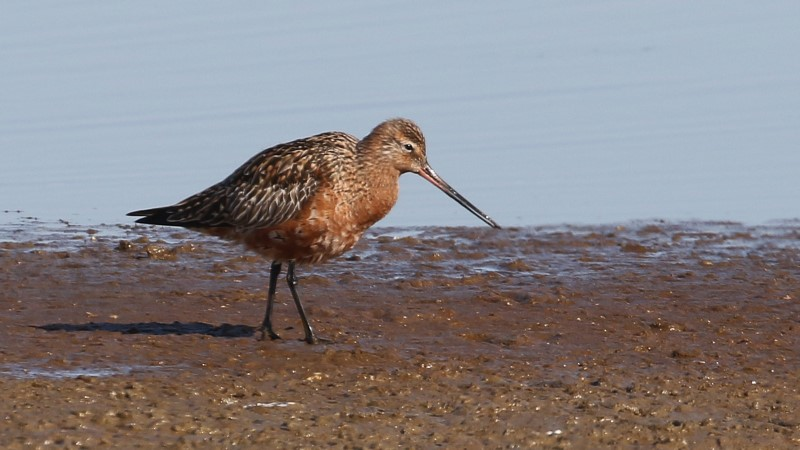 Bar-tailed Godwit - Normandy Marsh 17th April C Rose IMG_9219