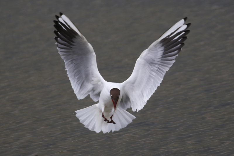 Black-headed Gull - Titchfield Haven 1st May C Rose