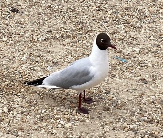 Black headed Gull by Stephen Harvey - Apr 29th, Hatchett Pond