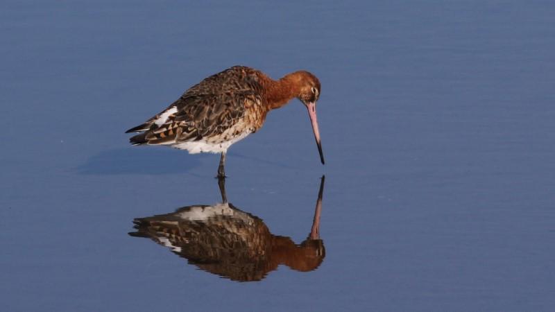Black-tailed Godwit - Pennington Marsh 17th April C Rose IMG_9058