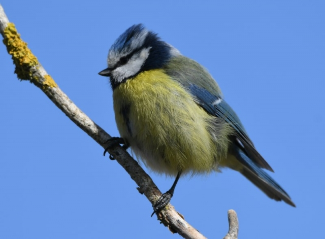 Blue Tit by Dave Levy - Apr 26th, Basingstoke