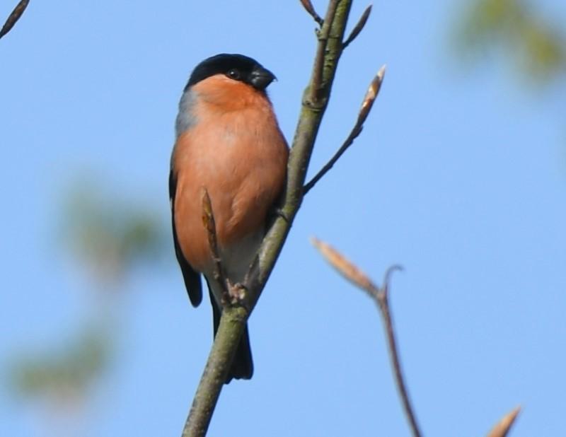 Bullfinch by Dave Levy - Apr 26th, Basingstoke