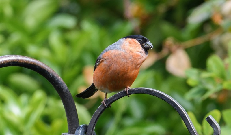 Bullfinch by Martin Holmes - May 7th, Winchester