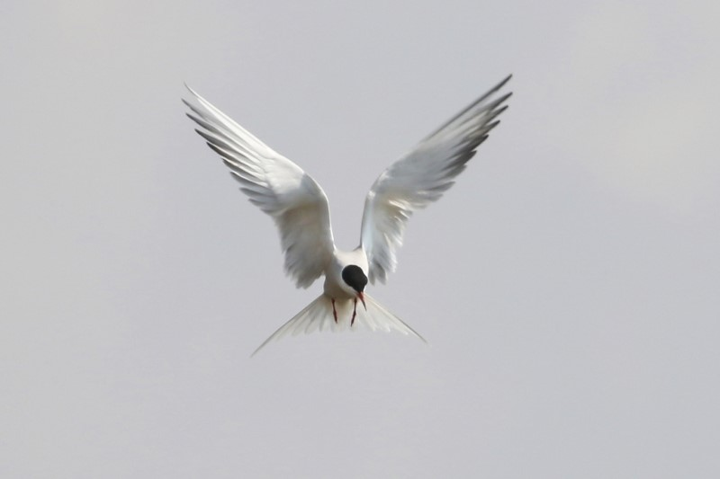 Common Tern - Titchfield Haven 1st May C Rose