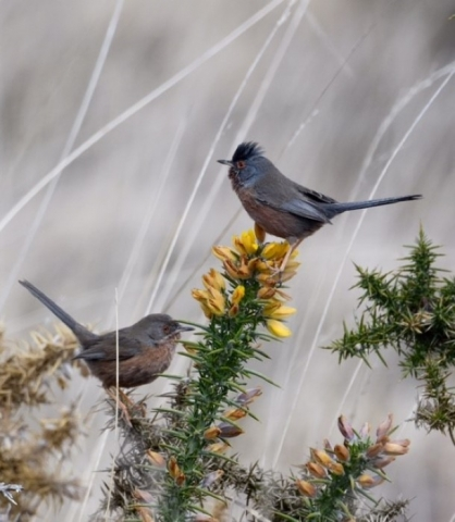Dartford Warbler - Hamble Common - May 7th by Peter Hyde