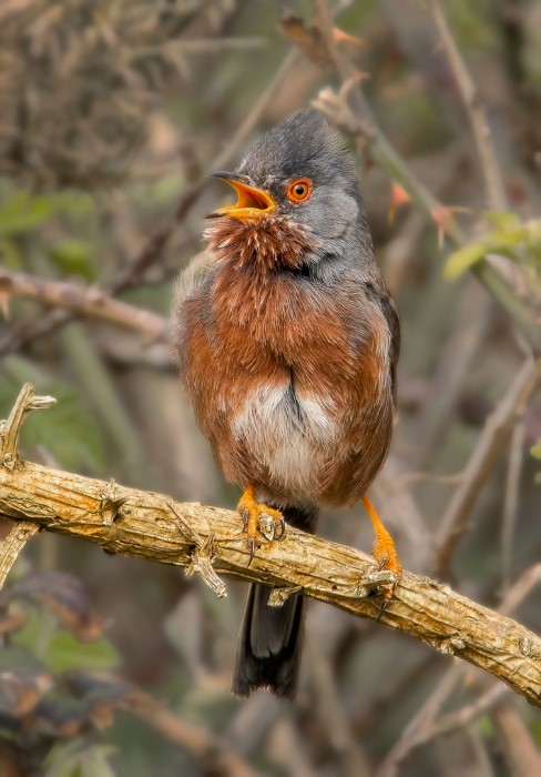 Dartford Warbler - Hampshire - Bay 1Apr21 by Steve Payce
