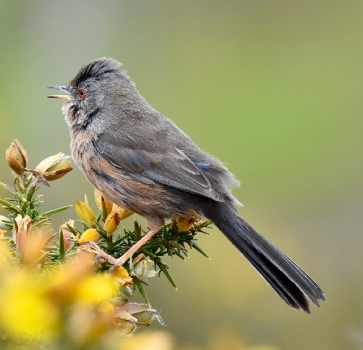 Dartford Warbler by Peter Hyde - May 7th, Hamble Common