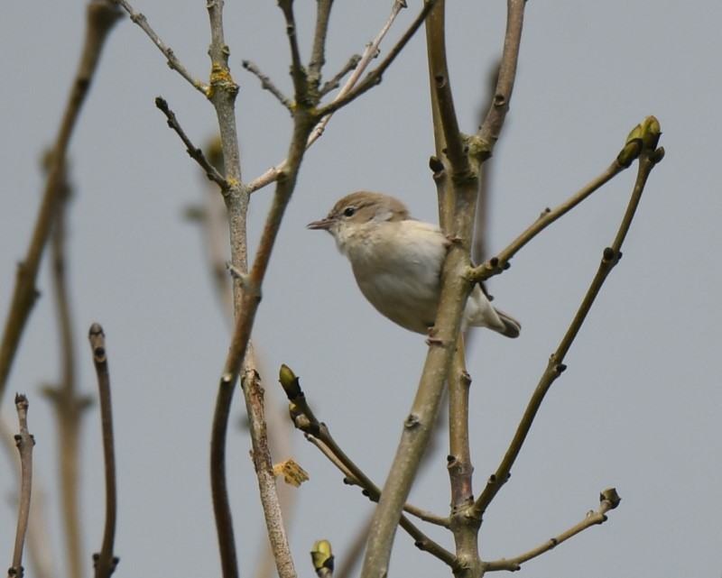 Garden Warbler by Dave Levy May 7th Home Farm ,Burkham