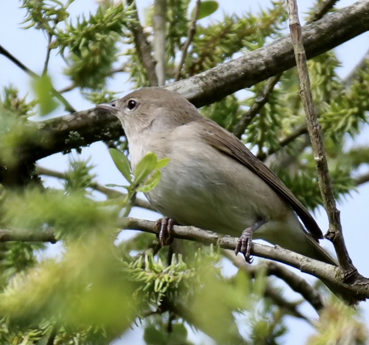 Garden Warbler by Rob Porter-May 11th, Fishlake Meadows