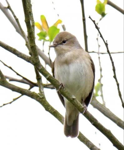 Garden Warbler by Rob Porter-May 14th, Winnal Moor