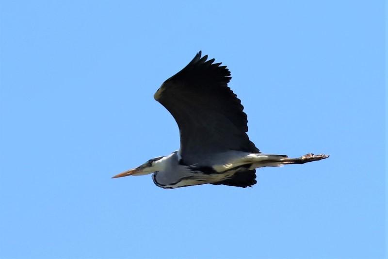 Heron by Brian Cartwright 24th Apr Anton Lake 5288