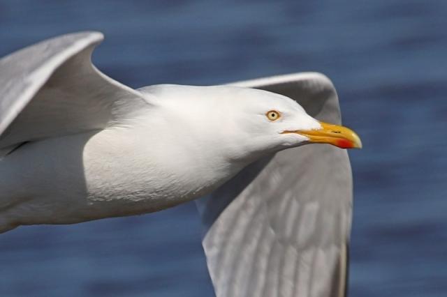 Herring Gull - Pennington Marsh 17th April C Rose IMG_9431