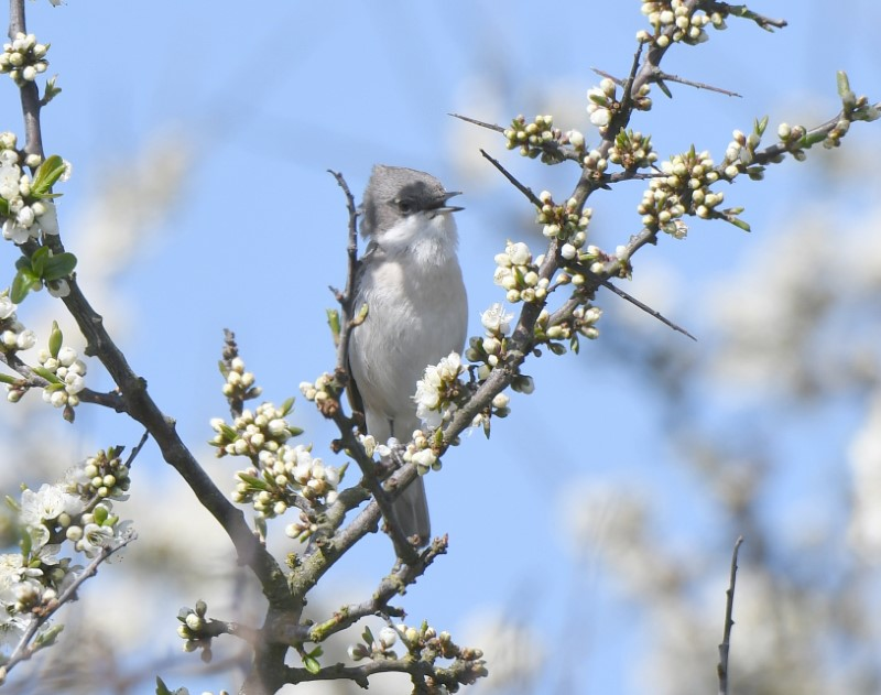 Lesser Whitethroat by Dave Levy May11th Keyhaven