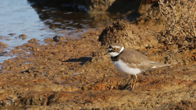 Little Ringed Plover - Hampshire 17th April C Rose IMG_9131