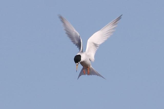 Little Tern - Normandy Marsh 17th April C Rose IMG_9248