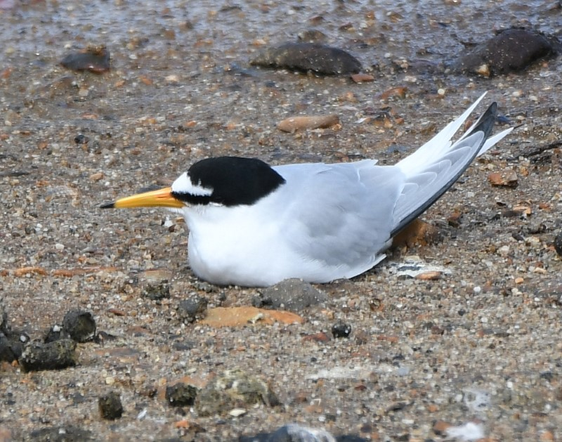 Little Tern by Dave Levy - May 11th, Keyhaven