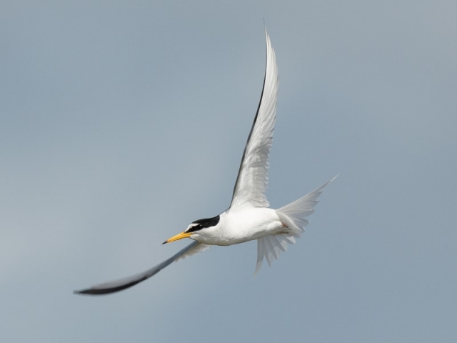 Little Tern by Gareth Rees - May 12th, Oxey Marsh