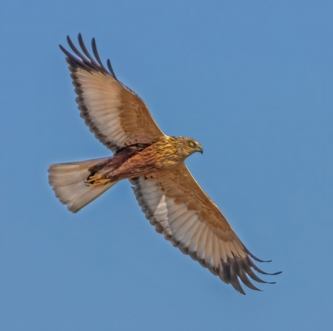 Marsh Harrier @ Titchfield Haven 22Apr21 by Steve payce