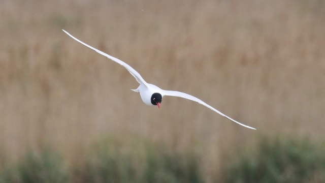 Mediterranean Gull - Titchfield Haven 1st May C Rose