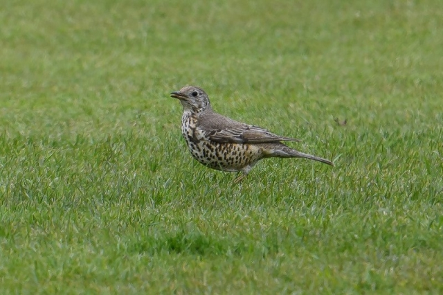 Mistle Thrush by Martin Holmes - May 6th, Winchester