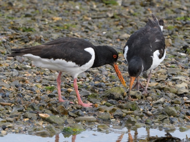 Oystercatcher by Gareth Rees - May 7th, Butt's Bay