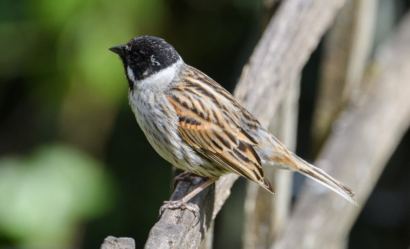 Reed Bunting by Martin Holmes - May 6th, Winchester