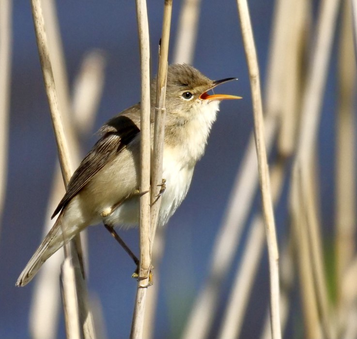 Reed Warbler by Rob Porter-May 7th, Pennington Marsh
