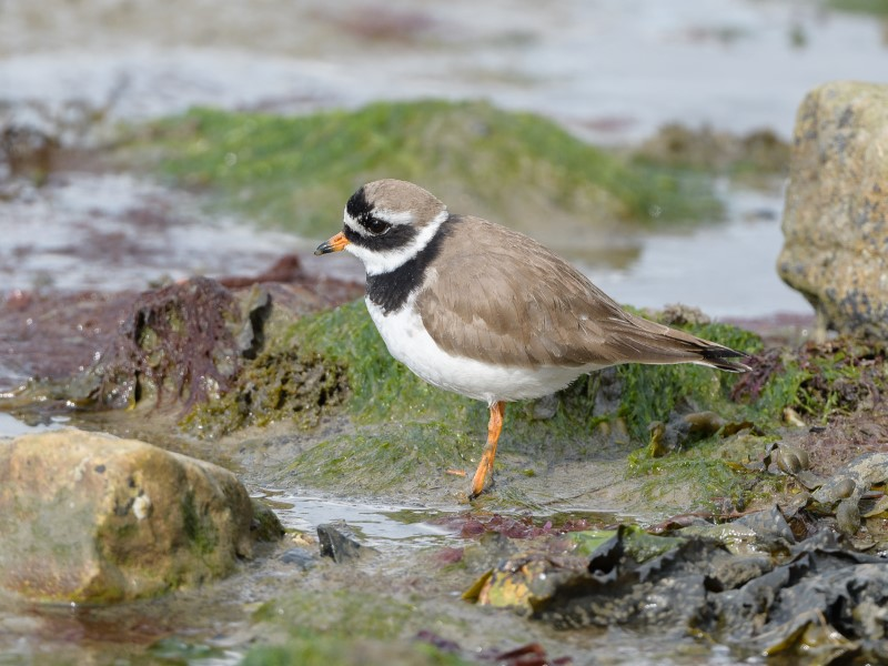 Ringed Plover by Gareth Rees - May 6th, Butt's Bay
