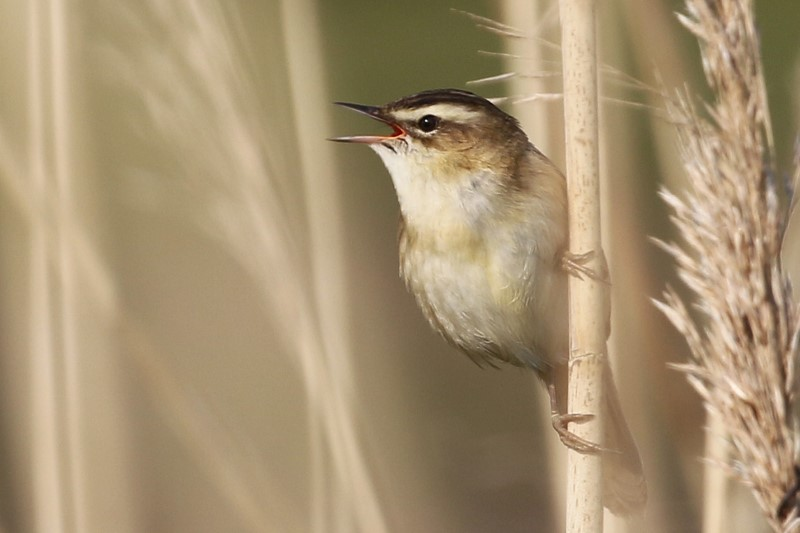 Sedge Warbler - Titchfield Haven Canal Path 1st May C Rose