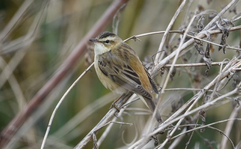 Sedge Warbler by Martin Holmes - May 2nd, Winchester