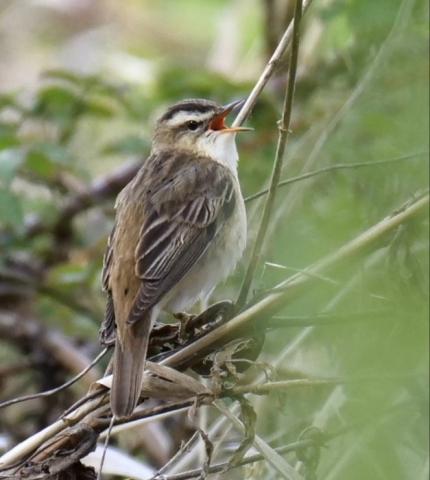 Sedge Warbler by Rob Porter-May 11th, Fishlake Meadows