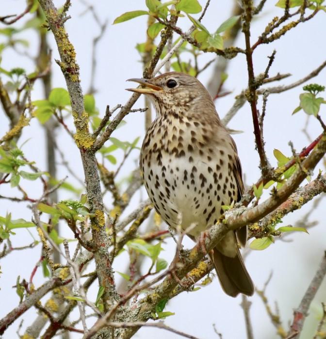 Song Thrush by Rob Porter-May 14th, Winnal Moors