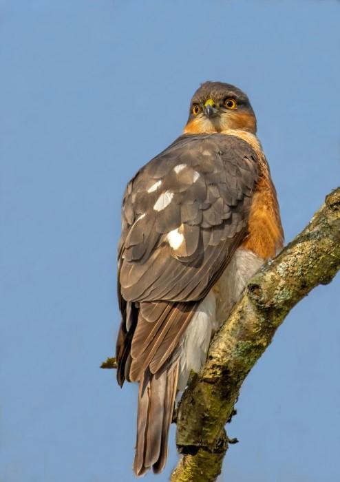 Sparrowhawk @ Winnal 22Apr21 by Steve Payce