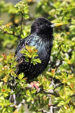 Starling by Brian Cartwright 23rd Apr Anton Lake 5193