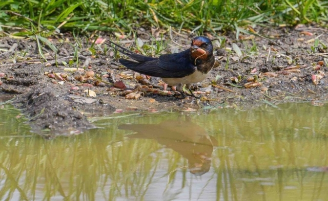 Swallow by Martin Holmes - May 12th, Winchester