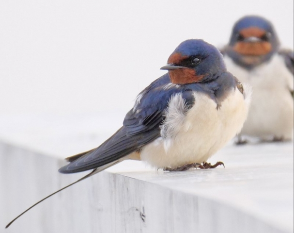 Swallow by Rob Porter-May 2nd, Testwood Lakes