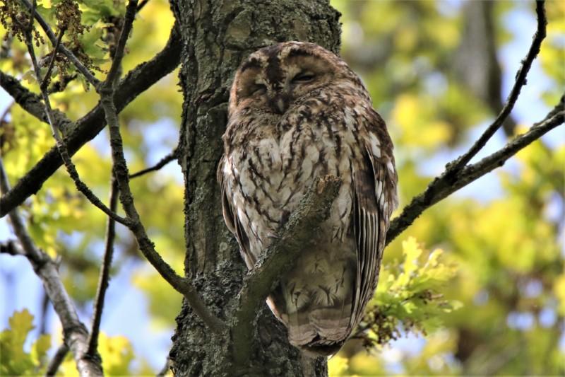 Tawny Owl Baddesley 5th May A.Tew