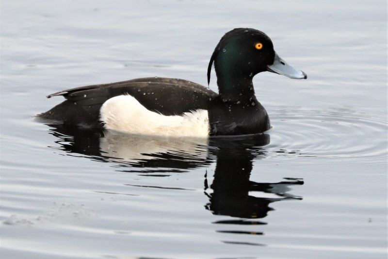 Tufted Duck by Brian Cartwright 16th May Anton Lake