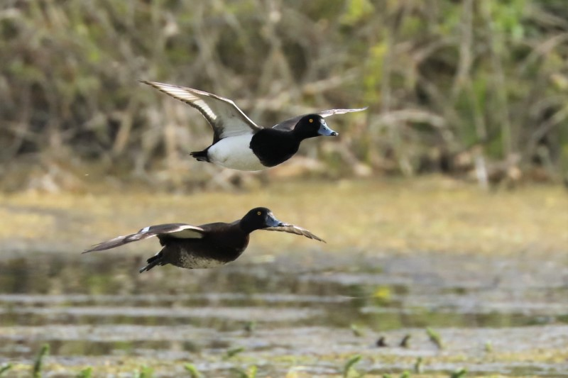 Tufted Duck by Brian Cartwright 6th May Anton Lake