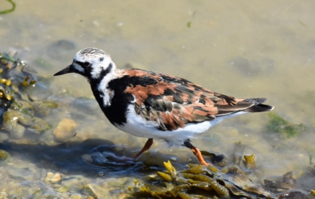 Turnstone by Peter Hyde - Apr 25th, Titchfield Haven
