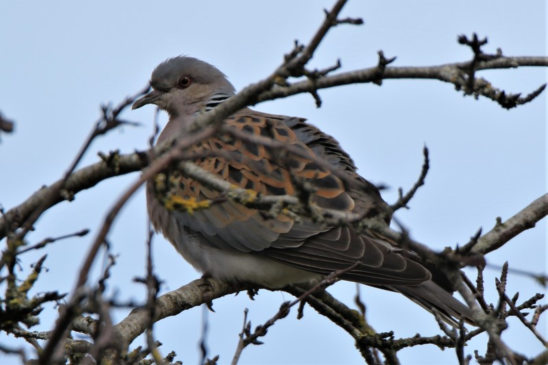 Turtle Dove 6th May Martin Down A.Tew