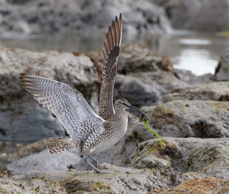 Whimbrel by Gareth Rees - May 6th, Butt's Bay