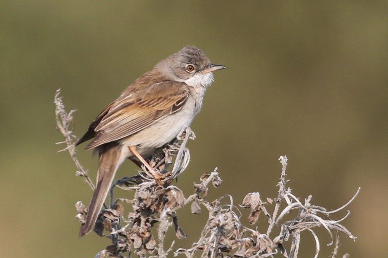 Whitethroat - Titchfield Haven Canal Path 1st May C Rose