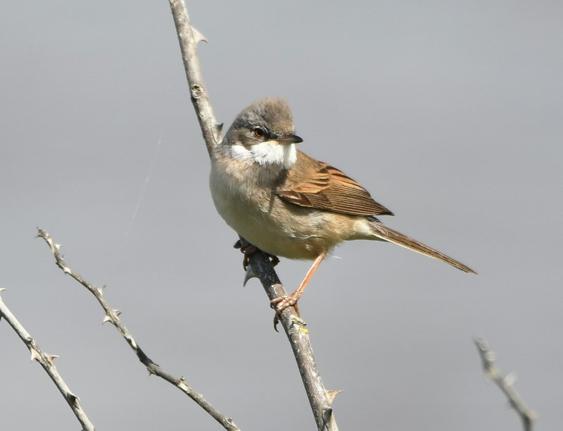 Whitethroat by Dave Levy May 11th Keyhaven